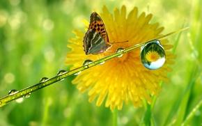 Picture reflection, dandelion, butterfly, drop, stem