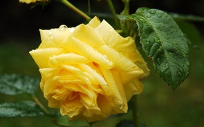 Picture flower, leaves, drops, Rosa, yellow, Roses
