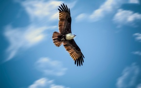 Picture the sky, flight, eagle, wings, hunting