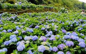 Picture landscape, flowers, nature, landscape, nature, flowers, hydrangea, hydrangea