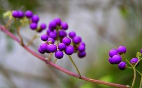 Picture nature, berries, branch, purple, Purpleberry, Callicarpa
