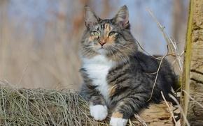 Wallpaper cat, cat, look, portrait, Norwegian forest cat