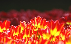 Picture flowers, bright, tulips, flowerbed, yellow-red
