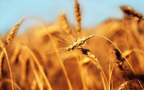 Wallpaper wheat, field, ear, bread