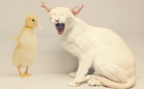 Picture cat, mouth, duck