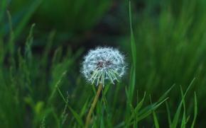Picture grass, flowers, dandelion