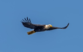 Picture flight, eagle, wings, blue sky, bald eagle, wildlife