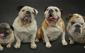 Picture dogs, pug, Quartet, English bulldogs