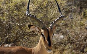 Picture Savannah, Namibia, Impala, Etosha national Park (Etosha National Park), or charapata antelope (Aepyceros melampus petersi), ...
