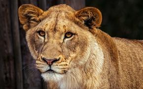 Picture look, face, cats, nature, background, portrait, Leo, beauty, wild cats, lioness, lion, calm, smart, vision …