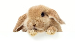 Picture Look, Rabbit, White, Background, Animals