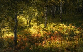 Picture autumn, forest, grass, the sun, trees, birch