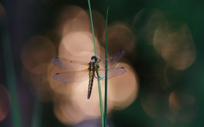 Picture grass, glare, background, dragonfly, grass