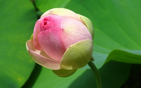 Picture leaves, Bud, pink Lotus