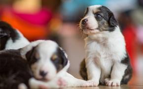 Picture dogs, puppies, bokeh, Australian shepherd, Aussie