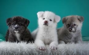 Wallpaper trio, Japanese Akita, puppies