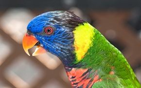 Picture bird, color, parrot