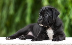 Picture cane Corso, puppy, breed