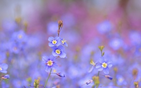 Picture flowers, blue, blue, Heliophila longifolia