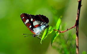 Picture butterfly, foliage, branch