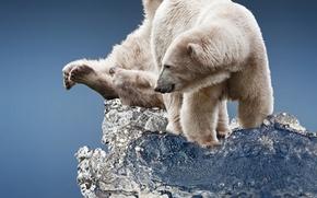 Picture ice, floe, polar bears