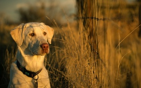 Picture light, sunset, each, the fence, dog