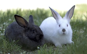 Picture white, black, pair, rabbits