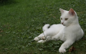 Picture cat, white, grass, lies, color