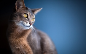 Picture cat, look, blur, background, ears, eyes