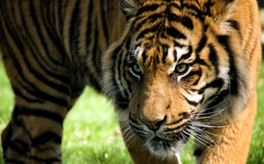 Picture look, face, strips, tiger, predator, wild cat
