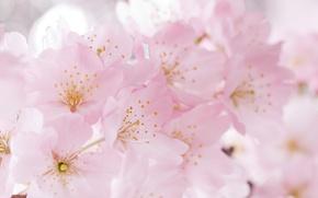 Picture flowers, cherry, tenderness, spring, Sakura, flowering