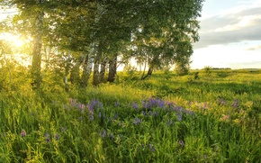 Picture greens, field, summer, grass, the sun, trees, flowers, meadow, birch