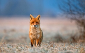 Picture frost, grass, look, nature, animal, Fox, fox