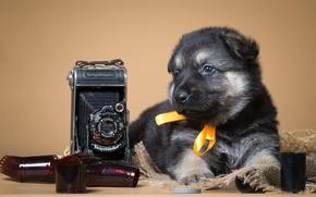 Picture retro, puppy, the camera, bow, shepherd, film
