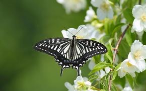 Picture macro, butterfly, branch, flowering, flowers, Jasmine, Sailboat xut