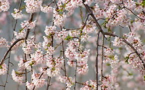 Picture branches, cherry, tenderness, spring, Sakura