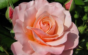 Wallpaper macro, petals, buds, rose