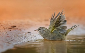 Picture bird, puddle, bathing, Sparrow