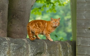 Picture cat, look, red, red cat
