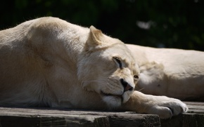 Picture cat, stay, sleep, white, lioness