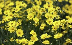 Picture field, flowers, yellow, meadow