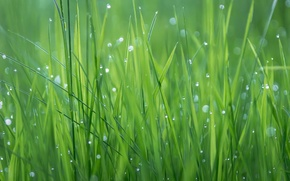 Picture grass, drops, Rosa, plant, texture, meadow