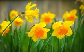 Picture grass, macro, nature, spring, petals, Narcissus