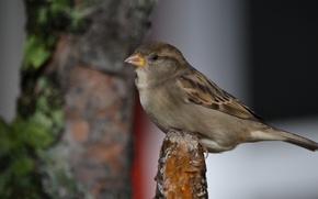 Picture Park, grey, bird, Sparrow, brown, Latvia