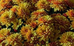 Picture drops, Rosa, texture, chrysanthemum