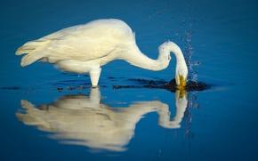 Picture lake, splash, fishing, hunting, egret