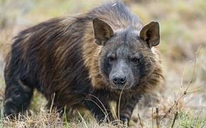 Picture grass, look, face, predator, hyena