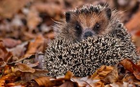 Picture autumn, look, barb, hedgehog, hedgehog