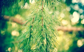Picture forest, needles, tree, spruce
