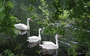 Picture greens, lake, Wallpaper, swans, wallpapers
